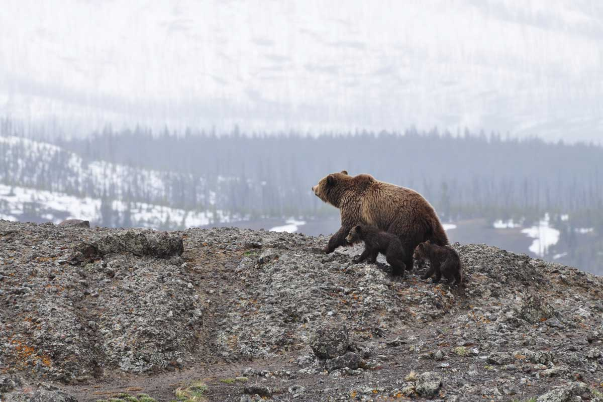 Bear with cubs in the mountain