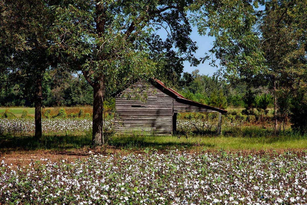 Cotton farm field