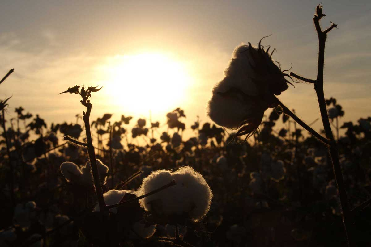 Cotton field at dawn