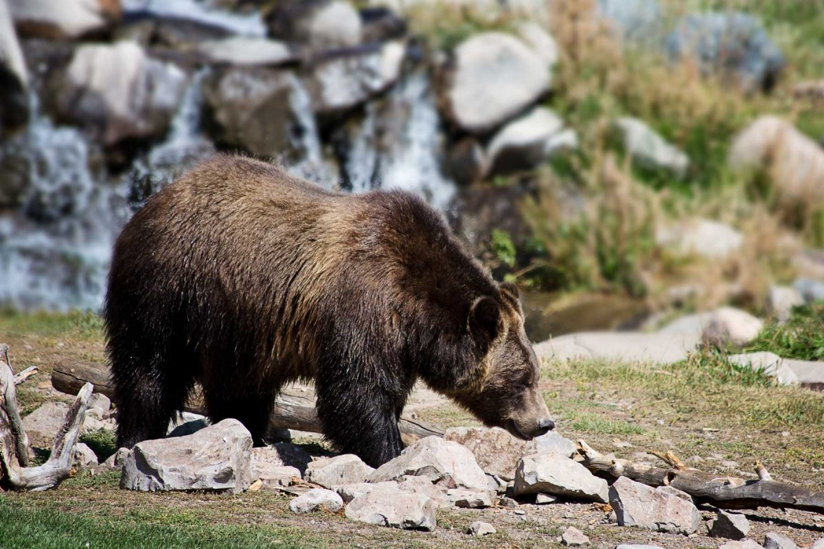 Grizzly bear near camp