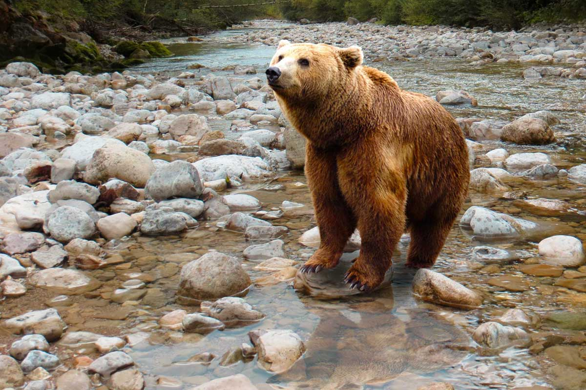 Bear in stream hearing noise