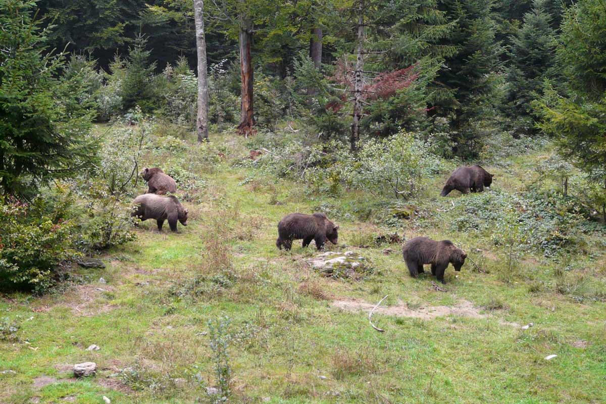 Several bears walking in forest
