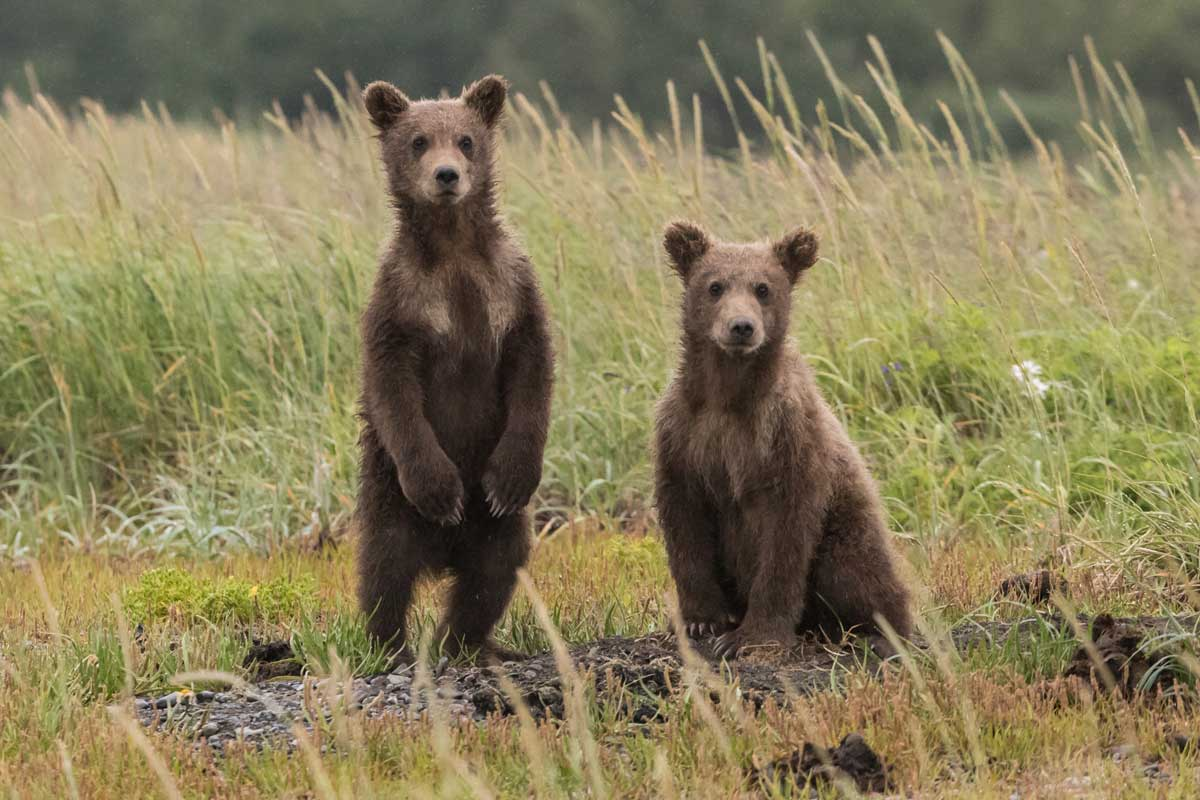 Two curious brown bears