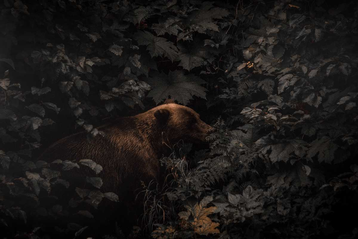 Grizzly bear shot at night