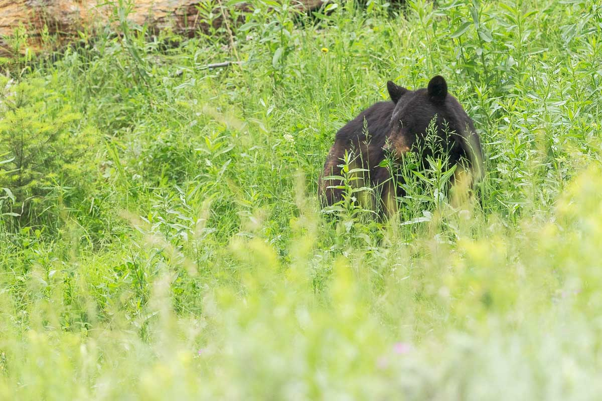 Bear behind tall grass
